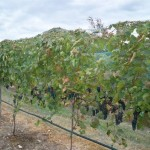 Vines treated with KDL for frost protection