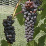 Frontenac Gris Grape Moves Beyond Minnesota