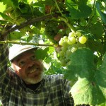 Growing Organic Wine Grapes in The Midwest
