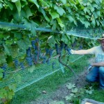 Grape Breeder's Hypothesis Could Reveal Norton Grape Origins