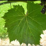 Ozone Damage to Grape Leaves