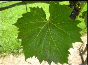 Ozone damage on a grape leaf. Photo courtesy WGGA