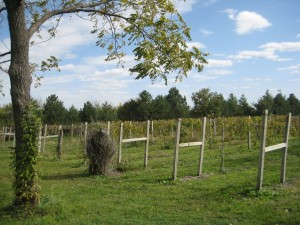 Graue Vineyards at Middle Creek Winery