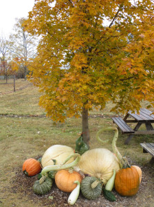 The University of Minnesota also breeds pumpkins and squash which are displayed in the vineyard.