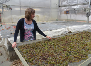 Katie Cook drying grapes for Passito at the University of Minnesota