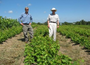 Lucian Dressel (right) and his son Joseph with Crimson Cabernet vines in July, 2011. (photo courtesy Lucian Dressel)