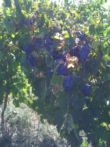 Crimson Cabernet growing at Somerset Ridge Vineyard & Winery (photo courtesy of the winery)
