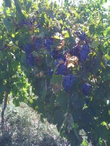Crimson Cabernet growing at Somerset Ridge Vineyard & Winery (photo courtesy of the winery)