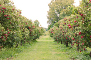 orchard1 copy