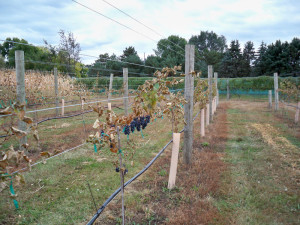 Marquette vines in Don Dinesen's vineyard that did not receive the KDL treatment.