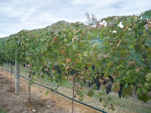 KDL treated Marquette vines in Don Dinesen's vineyard.