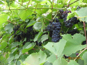 Marquette grapes at Riverview Vineyard in Genoa, WI