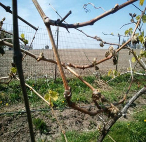Spring 2012 vine damage at a    vineyard. (Photo courtesy of Iowa State University.)