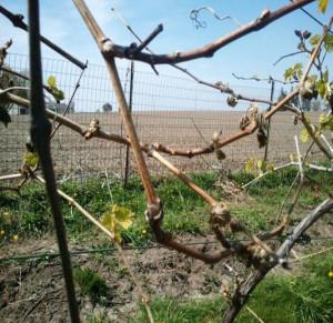 Spring 2012 vine damage at a    vineyard. (Photo courtesy of Iowa State University.)