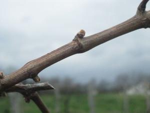 Seyval vines at Sainte Genevieve Winey is Southern Missouri this week.