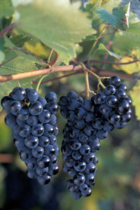 More Marquette is being planted in the Midwest than any other red wine grape, but acid levels can be a challenge for winemakers.