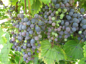 Frontenac Gris on the vine at