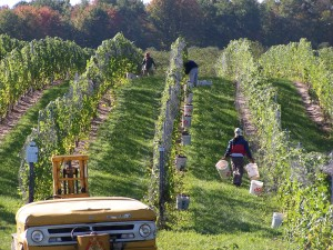 Hand harvesting at Brys Estate Winery in Michigan