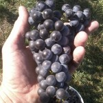 Ed Swanson's new Chancellor/Tempranillo hybrid has clusters that average 185 grams and berries that average 2.3 grams.