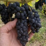 Ed Swanson says a new   has very rich tannins