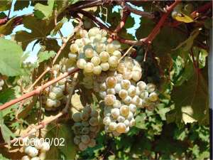 According to Davis Viticultural Research, Cab Dore ripens lot with no late season rots.