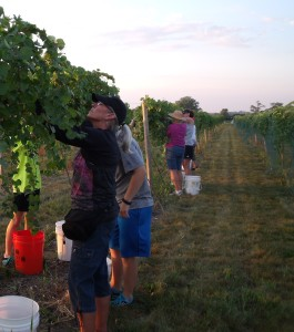 Harvesting at Cellar 426 Winery (courtesy Richard Hilske)