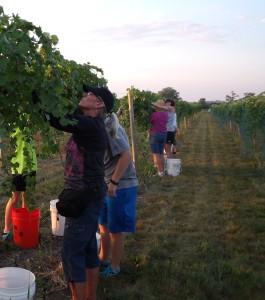 Harvesting at Cellar 426 Winery (courtesy Richard Hilske)