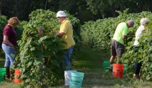 Harvesting at James Arthur Vineyards
