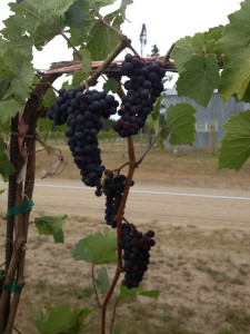 Marquette grapes on a high wire trellis at