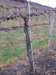 Some Foch vines at Wollersheim Winery are over 40 years old
