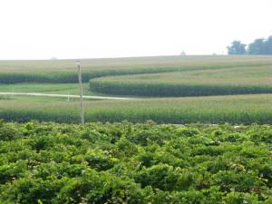 Grapes give way to corn at Mackinaw Valley Vineyard in Mackinaw, Illinois