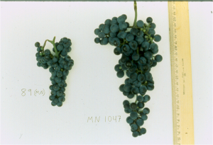 On the left, Riparia 89, the wild parent of Frontenac, compated with a modern Frontenac cluster on the right.
