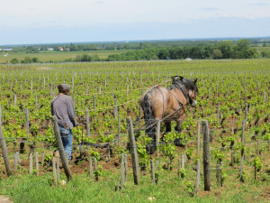 Traditions are respected in France more than the United States.  This photo was taken in the Cote du Nuits region during 2013