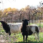 Sheep, Chickens and Bats Help Make Great Wine at Jowler Creek