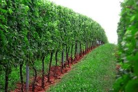 A vineyard in the Loess Hills of Iowa.