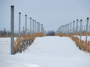 Snow in the vineyard's of Michigan's Old Mission Peninsula is currently two to four feet deep.