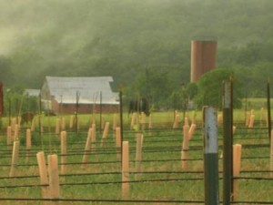 The vineyard at Edg-Clif Farms