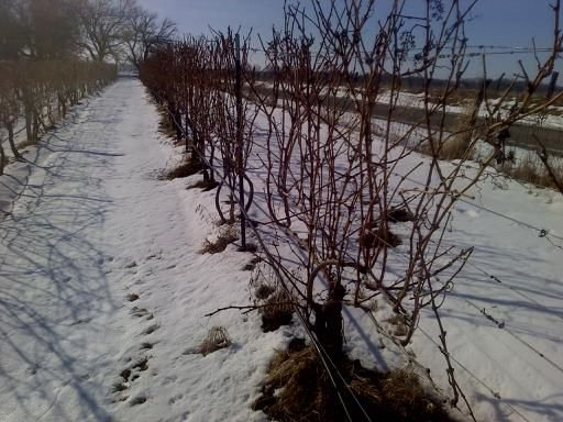 Winter and Mouvedre vines at Amigoni. Photo courttesy Amigoni Urban Winery