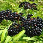 Elderberries have long been known to be an immunity booster.