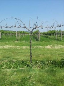 A sad sight, a dead Noiret vine