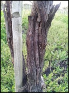 A winter damaged vine trunk