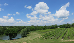The vineyard at Alto Pass Winery in