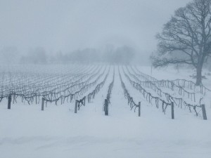 The vineyard at St Julian Winery in January 2014 (courtesy St Julian)