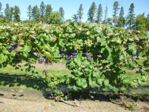 "The ""J training"" grape growing technique employed at the U of M is credited with helping  vines survive the brutal winter of 2013 and 2014."
