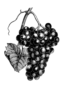 To truly understand a wine, you must first appreciate the grapes the wine is made from.