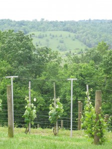 The First Vineyard in Nicholasville, Kentucky