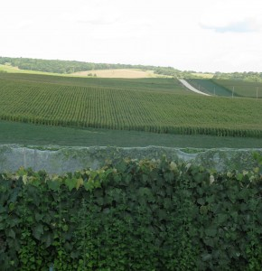 Grapes give way to corn in the Driftless region of Northeast Iowa.