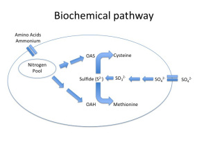Fig. 1a Sulfate Reduction Pathway in 'Healthy