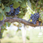 Carlos Creek Helping to Name New Grape