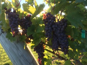 Good Fruit set in Frontenac Gris